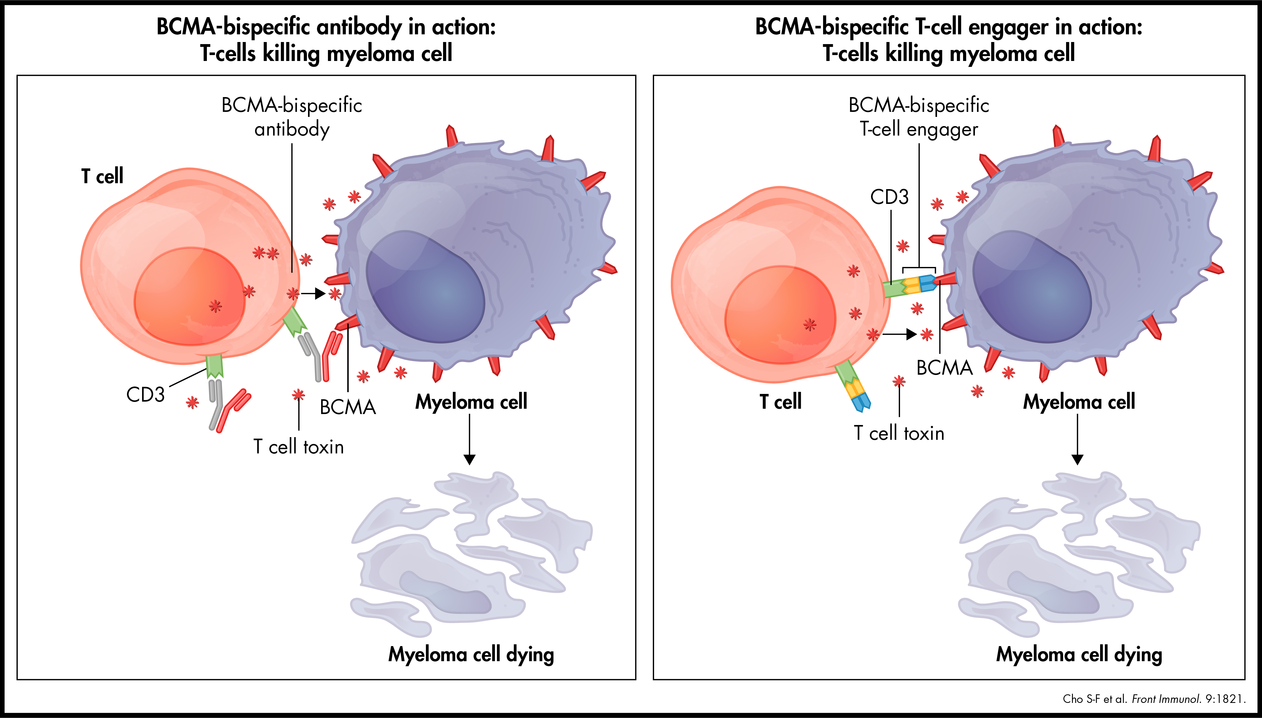 BCMA-bispecific antibody & T-cell engager in action: T-cells killing myeloma cell