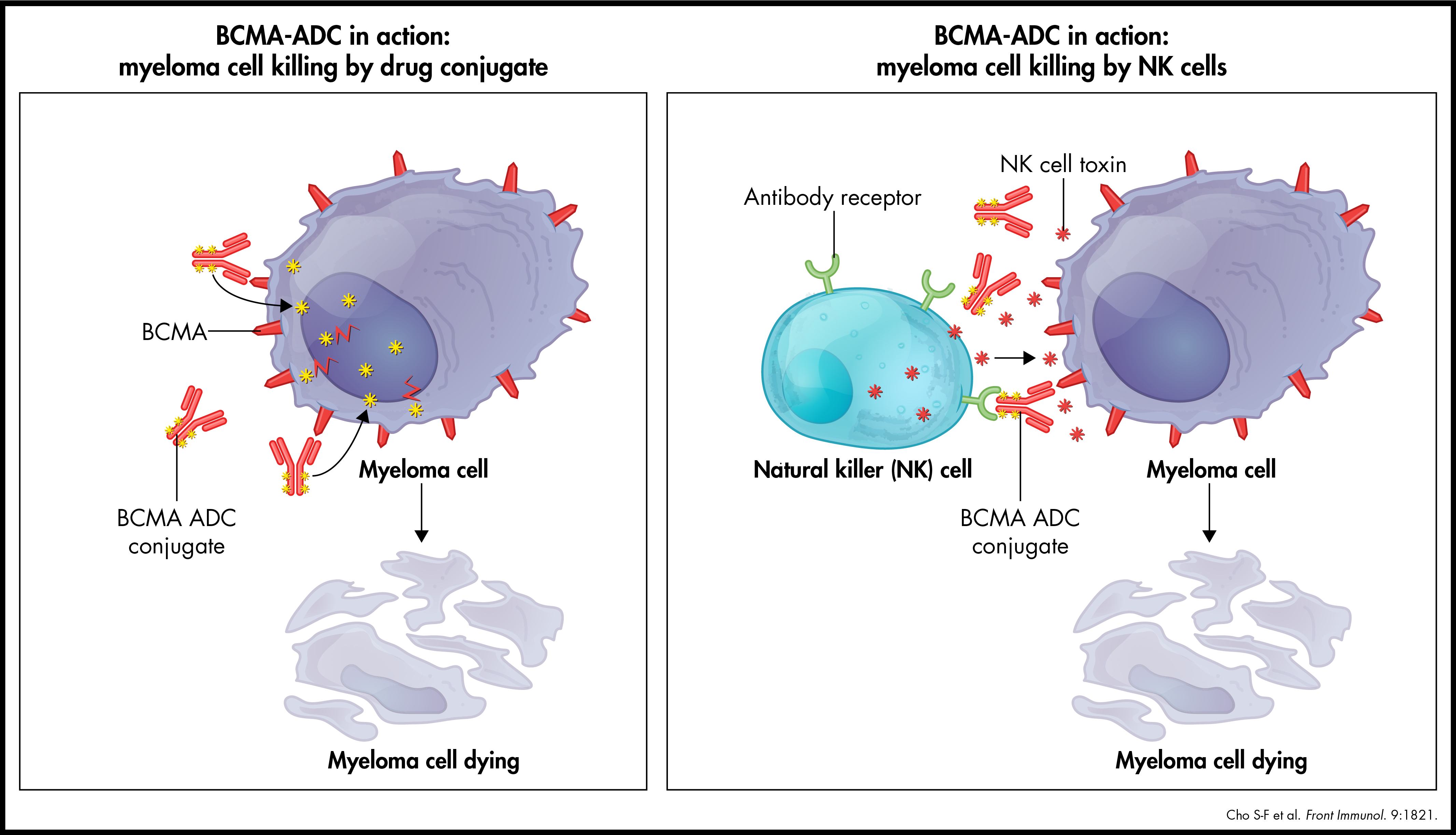BCMA-ADC in action: myeloma cell killing by drug conjugate & NK cells