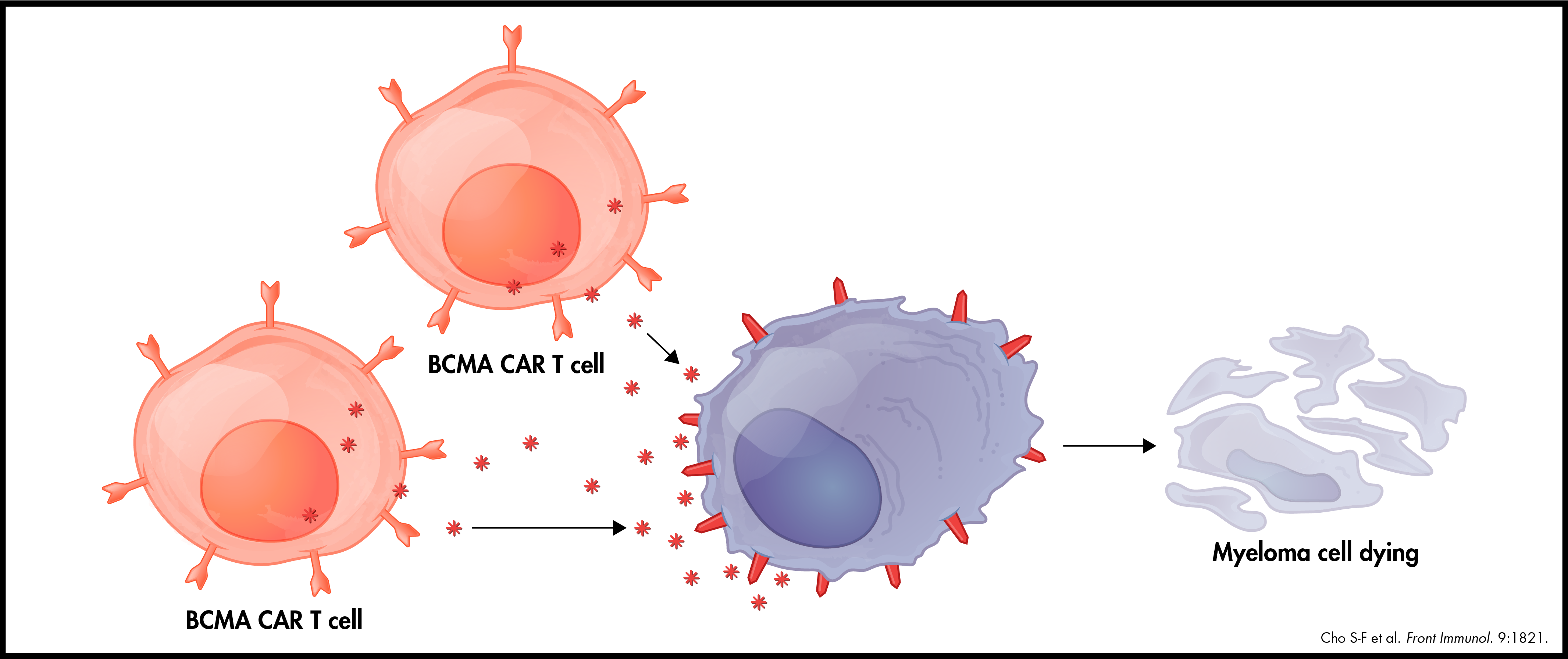 BCMA CAR T cells killing Myeloma cell